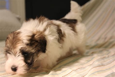 havanese breeders dallas havanese puppies for sale certified havanese breeders havanese breeds picture