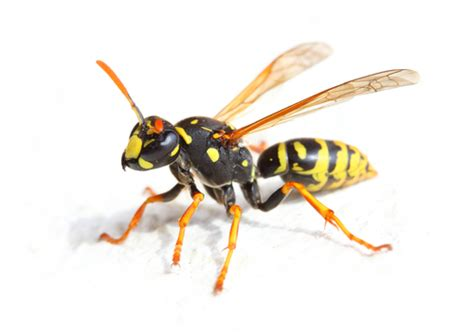 visitor pattern c black wasp yellow jackets p e i pest control