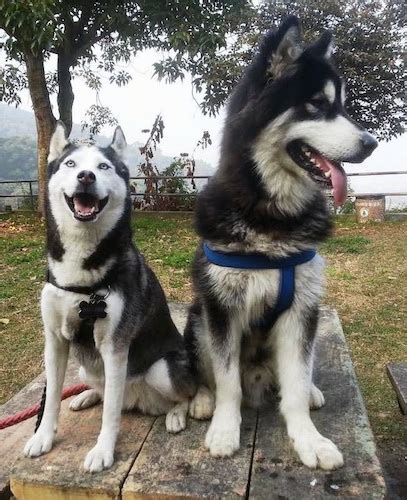 sled breeds list of sled breeds call of the 18 month alaskan