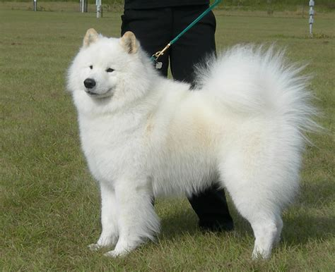 samoyed puppies near me samoyed puppies for sale near me