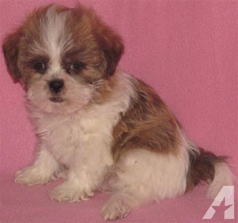 teddy puppies for sale in mn adorable teddy puppies for sale in new richland minnesota classified