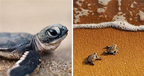 imagenes tiernas de tortugas mira este video que muestra c 243 mo los cient 237 ficos