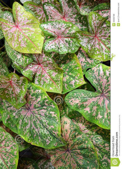pink elephant ear plant 28 images caladium plant
