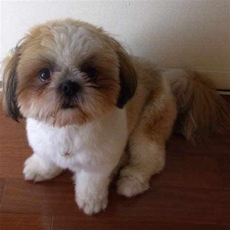 baby shih tzu names 17 best ideas about baby shih tzu on shih tzu puppy shih tzu and shih tzu