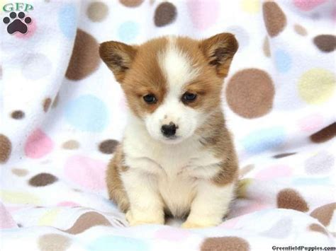 baby corgi puppies for sale best 20 corgi puppies for sale ideas on
