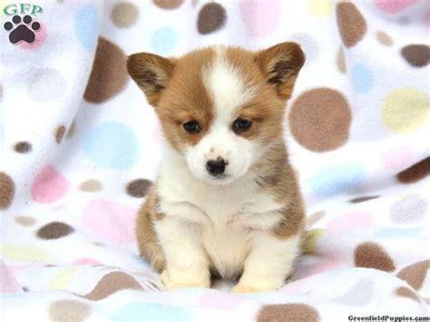 corgi puppies for sale in ga best 20 corgi puppies for sale ideas on