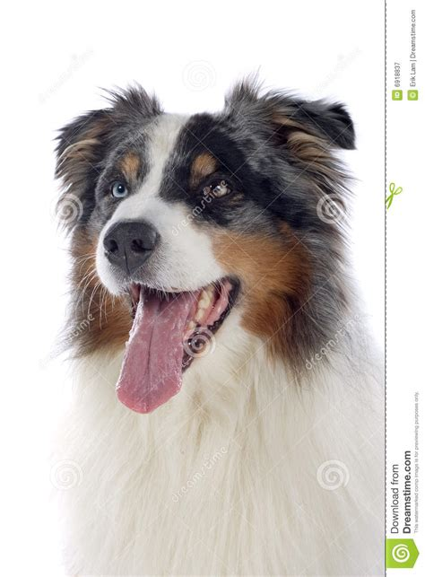 free australian shepherd puppies australian shepherd royalty free stock photography image breeds picture