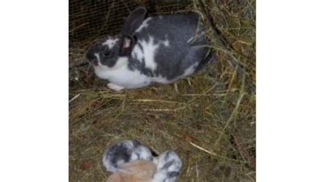 alimentazione coniglio articoli coniglicoltura archivi pagina 3 di 4 contro