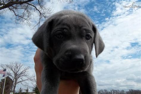 weimaraner puppies for sale oregon weimaraner puppies for sale cheap breeds picture
