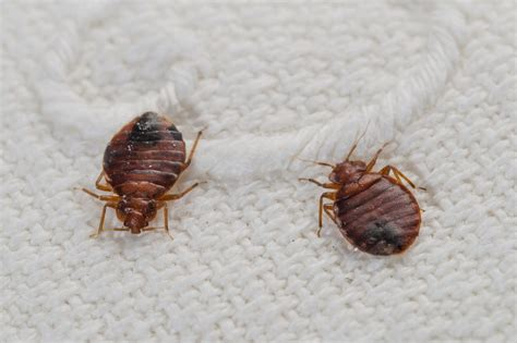 photos bed bugs how to know if you have bed bug bites