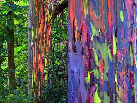 the rainbow eucalyptus tree illuminate
