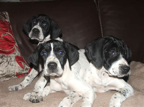 pointer puppies for sale pedigree pointer puppies for sale accrington lancashire pets4homes