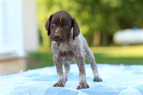 german shorthair puppy craigslist beautiful german shorthaired pointer pups craigspets