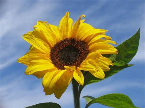 linguaggio dei fiori girasole il significato dei fiori girasole nel linguaggio dei