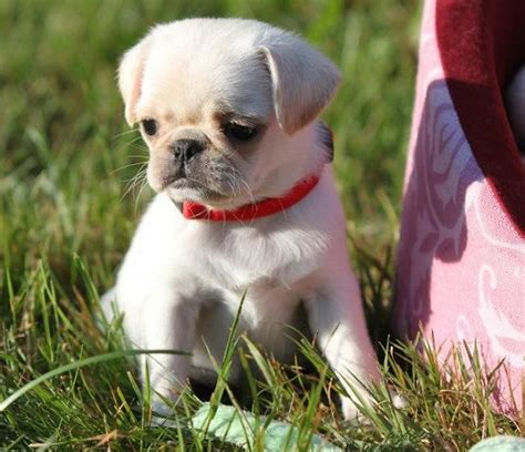 i want a pug puppy best 25 white pug ideas on pugs baby black pug and pug puppies