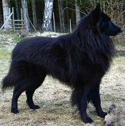 belgian sheepdog adoption groenendael black belgian shepherd belgian sheepdogs
