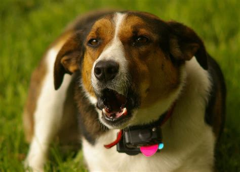 gps for dogs gps tracker for dogs to find your easily