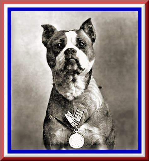 Sgt Stubby Pitbull History S Dogs Ark Animal Centre