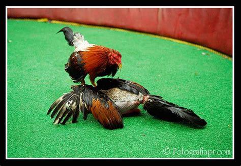 pelea de gallos orientales en puerto rico youtube gallos de pelea de puerto rico youtube
