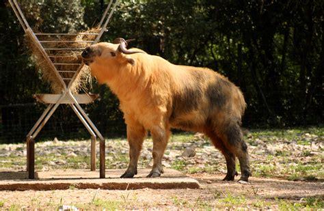 House Plan Guys by The Golden Takin Rare Amp Weird Lazer Horse