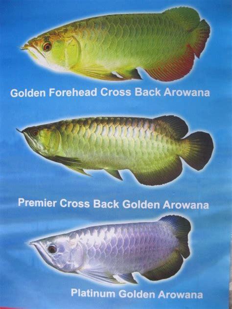 Cross Back Golden Arowana flowerhorn pond aquarium tips water plant types of