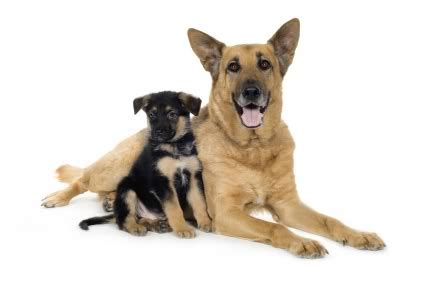types of german shepherds different types of shepherd dogs pets world