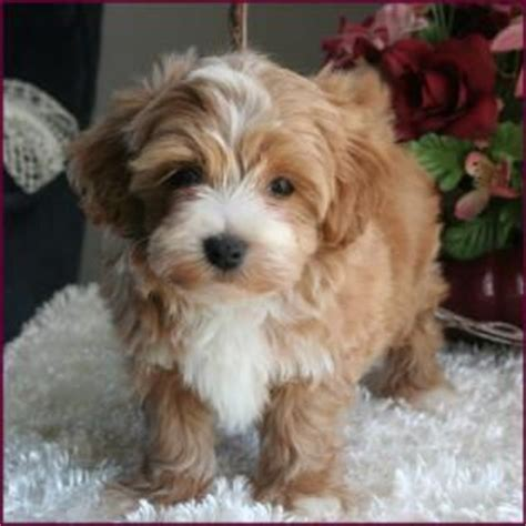 brown maltipoo puppies for sale 17 best ideas about maltipoo grown on maltipoo maltipoo puppies