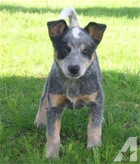 blue heeler puppies for sale in oregon miniature blue heelers for sale in oregon breeds picture