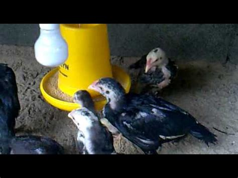 Anakan Ayam Bangkok Umur 2 Bulan anak ayam bangkok umur 2 bulan