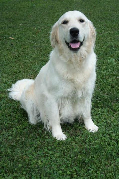 golden retriever wisconsin golden retriever puppies in wisconsin