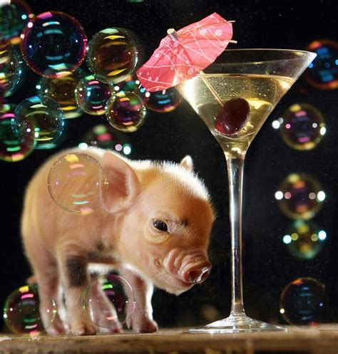 new year animal pig mini pig pig house pigs mini pigs and