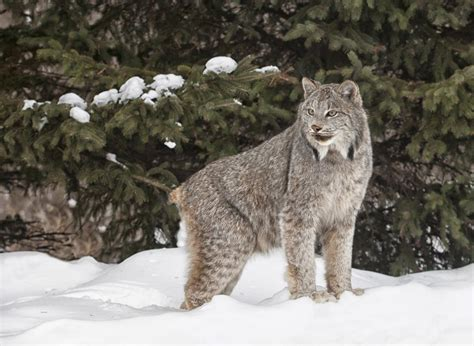 canadian snow lynx remarkable differences between a canadian lynx and a bobcat