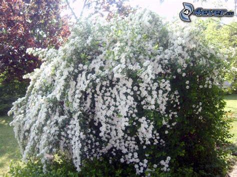 arbusti con fiori arbusti in fiore