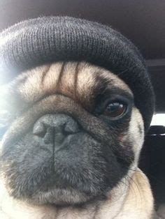 how much money are pugs pugmania on pugs black pug and pug