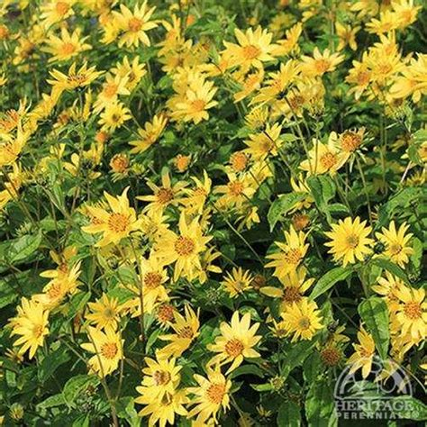 plant profile for helianthus lemon queen perennial