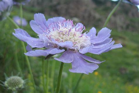 Pale Blue And White scabiosa caucasica wikipedia