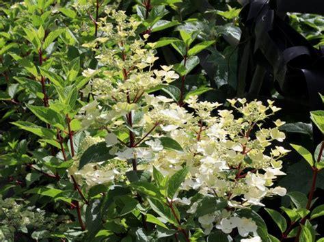 Hortensie Wims by Hortensie Hydrangea Paniculata Wim S 174 Hortensientr 228 Ume