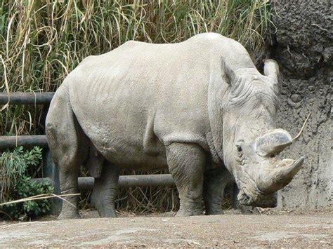 imagenes rinoceronte blanco muri 243 rinoceronte blanco s 243 lo quedan cuatro en el mundo