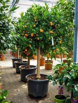 meyer lemon tree plants citrus trees lemon tree  seed