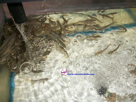 Bibit Ikan Arwana Di Pekanbaru benih ikan arwana benih ikan