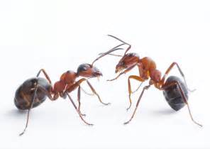 ants pes professional ecological services victoria