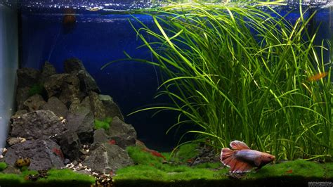 betta aquascape betta aquascape 28 images 11 best images about betta