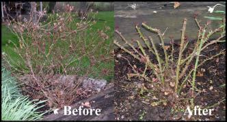 knock out roses pruning care goodseed farm garden supplies landscaping gardening advice