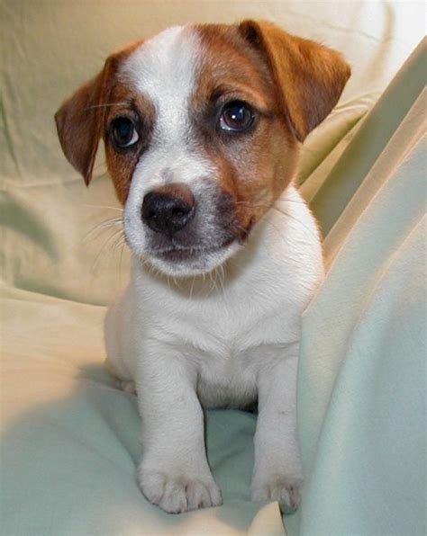 fox terrier puppy gallery puppies pictures smooth fox terrier puppies pictures