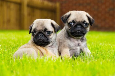 miniature pug puppies for sale in beautiful mini pug puppies for sale offer