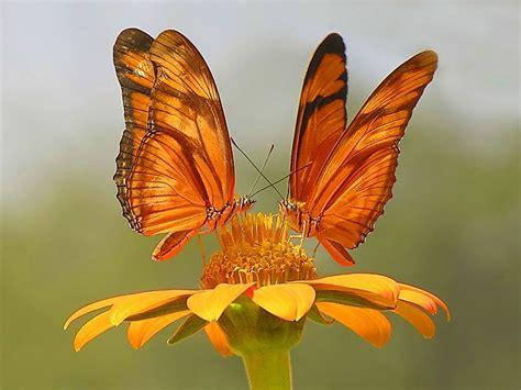 imagenes de mariposas juntas zoom dise 209 o y fotografia mariposas wallpapers fondos de