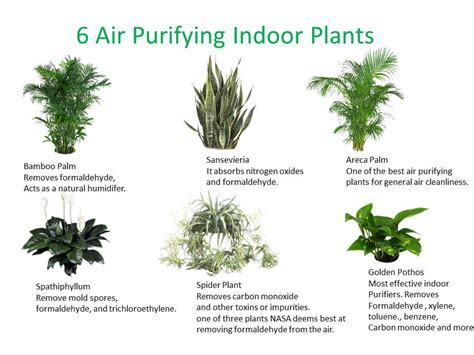 best plants for air quality 6 air purifying indoor plants infographic holistic