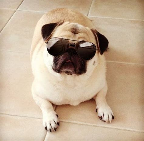 the cutest pug pictures of the cutest animals on the planet models picture