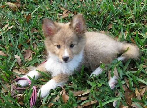 sheltie pomeranian poshie pomeranian x sheltie mix info temperament puppies pictures