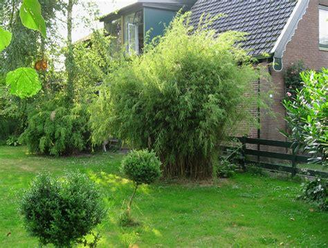 backyard bamboo garden fargesia nitida quot blue fountain quot